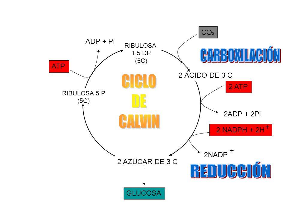 CARBOXILACIÓN CICLO DE CALVIN REDUCCIÓN CO2 ADP + Pi ATP