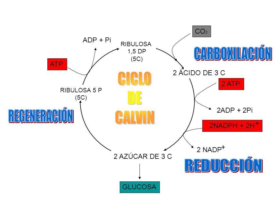 CARBOXILACIÓN CICLO DE CALVIN REGENERACIÓN REDUCCIÓN CO2 ADP + Pi ATP