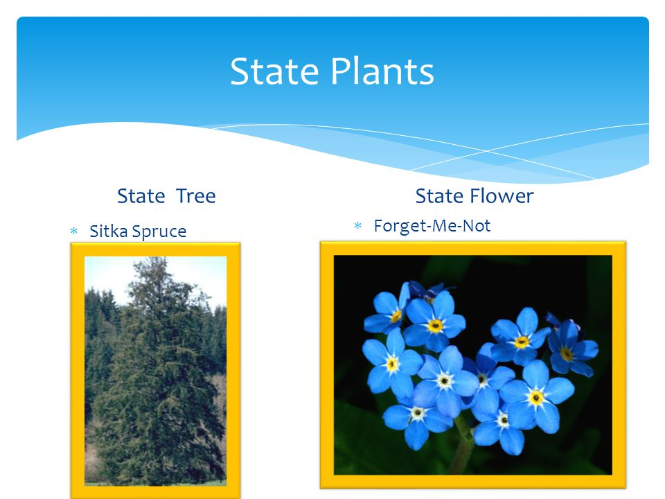 State Plants State Tree State Flower Forget-Me-Not Sitka Spruce