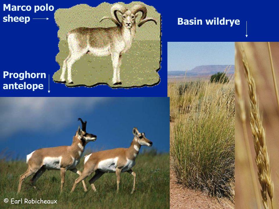 Marco polo sheep Basin wildrye Proghorn antelope