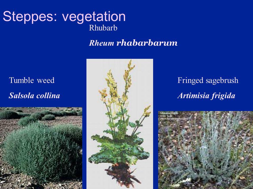 Steppes: vegetation Rhubarb Rheum rhabarbarum Tumble weed