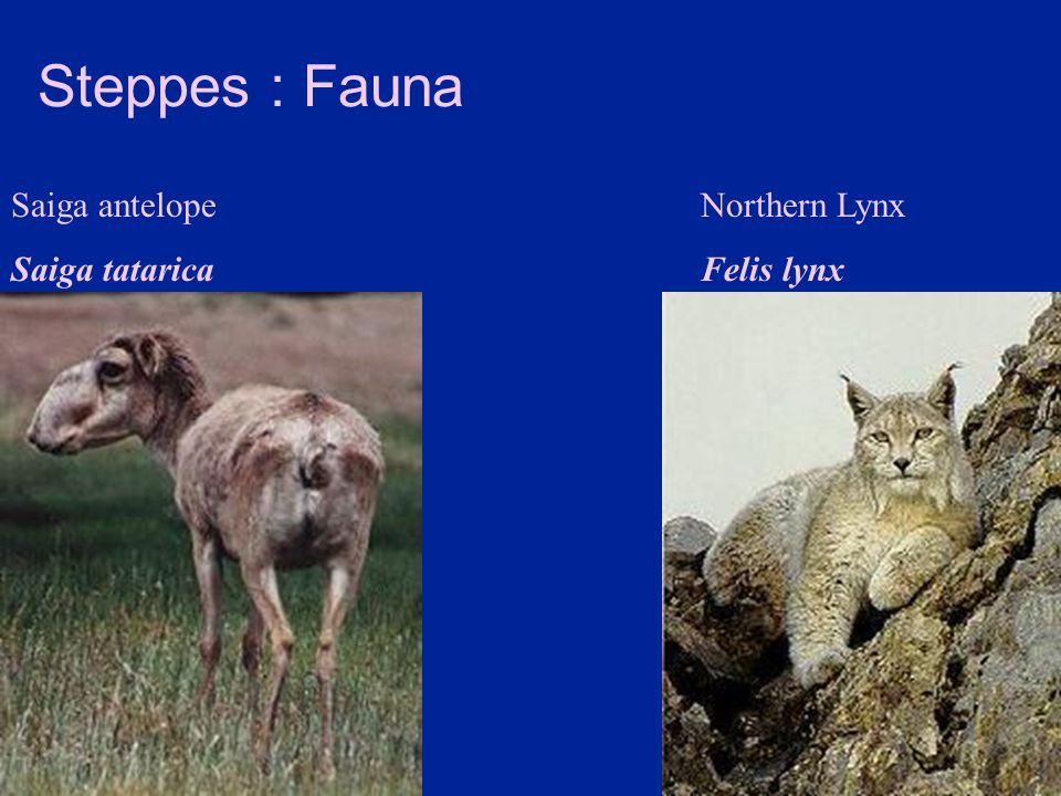 Steppes : Fauna Saiga antelope Saiga tatarica Northern Lynx Felis lynx