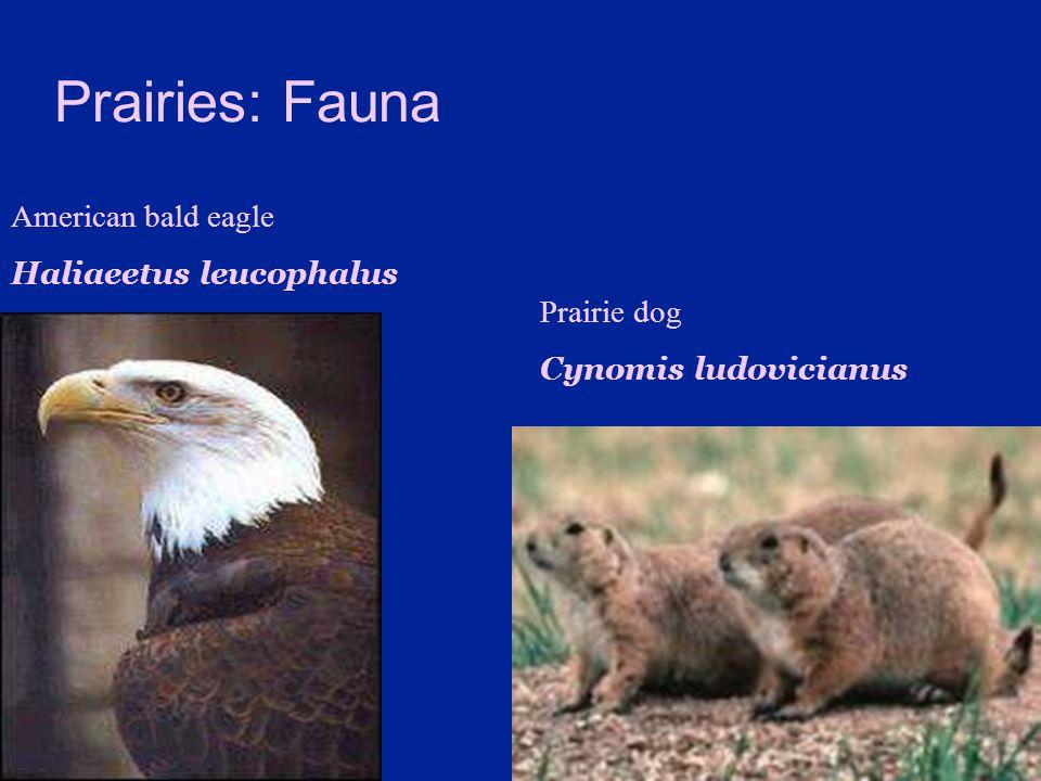 Prairies: Fauna American bald eagle Haliaeetus leucophalus Prairie dog