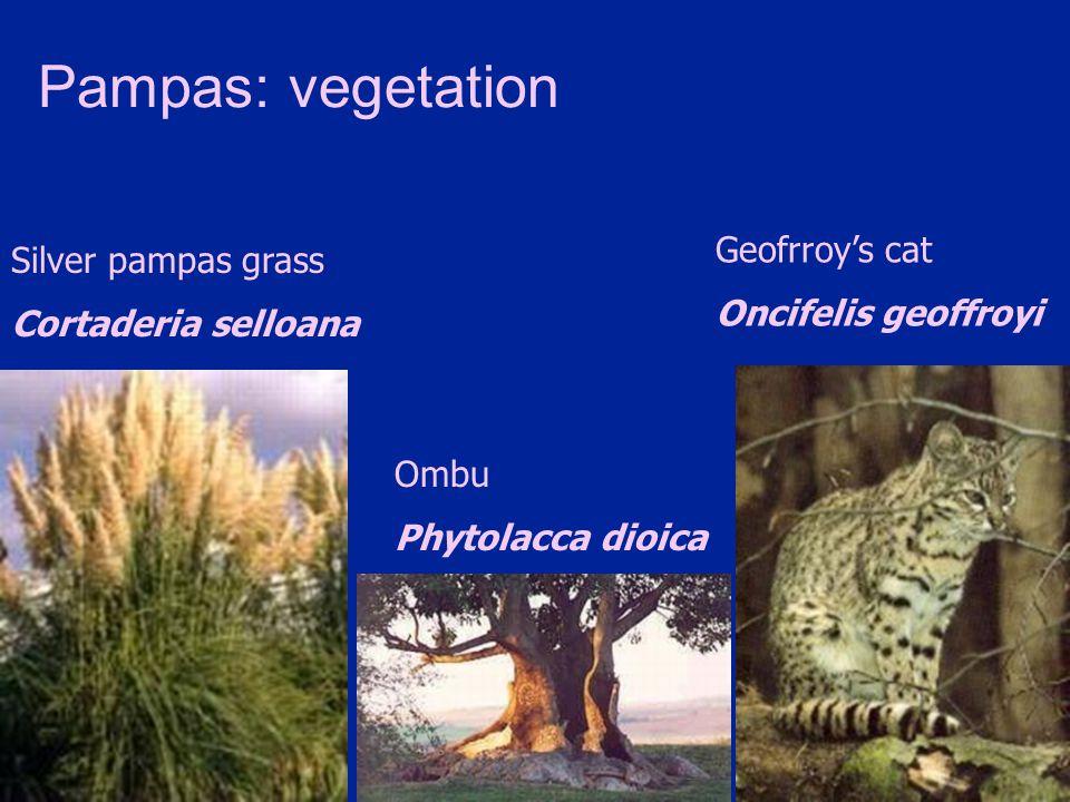 Pampas: vegetation Geofrroy's cat Silver pampas grass