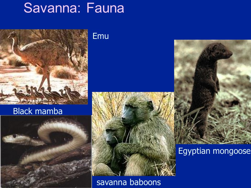 Savanna: Fauna Emu Black mamba Egyptian mongoose savanna baboons