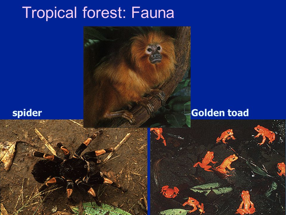Tropical forest: Fauna