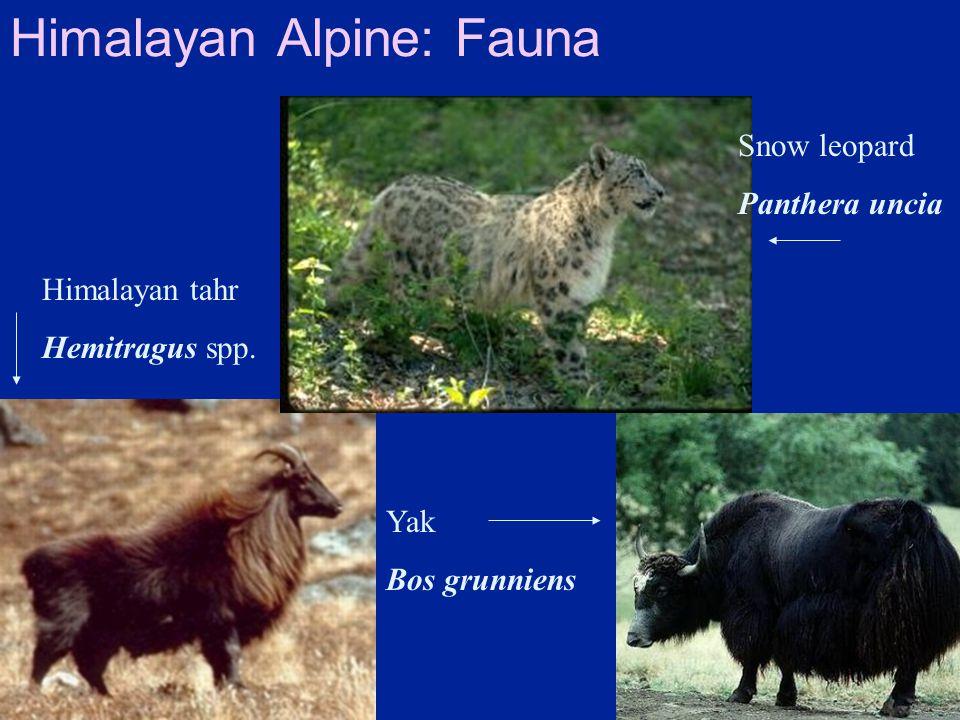 Himalayan Alpine: Fauna