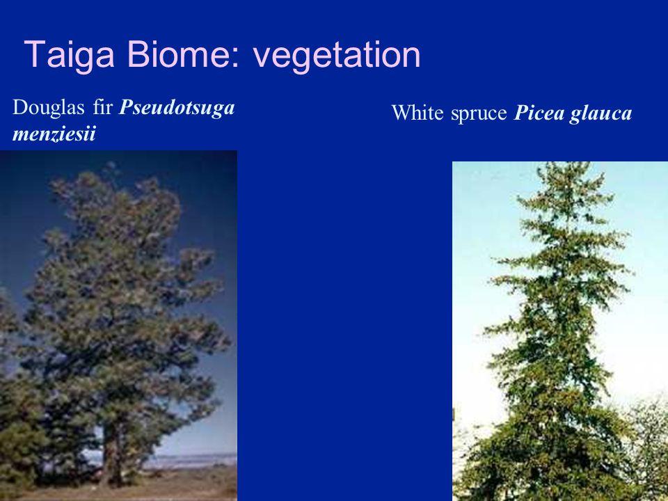 Taiga Biome: vegetation