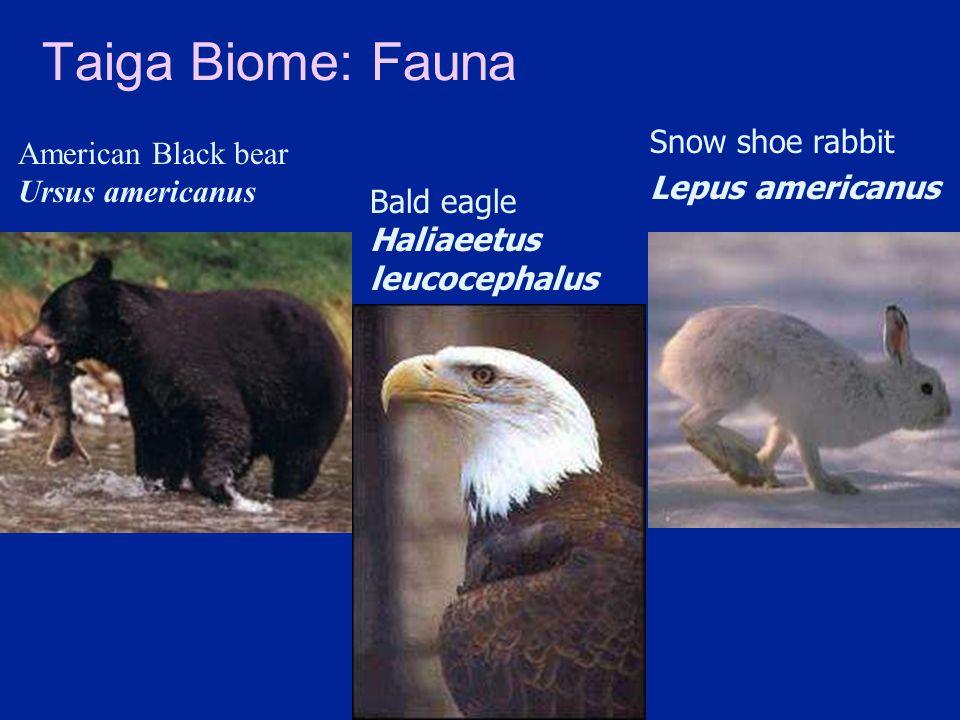 Taiga Biome: Fauna American Black bear Ursus americanus