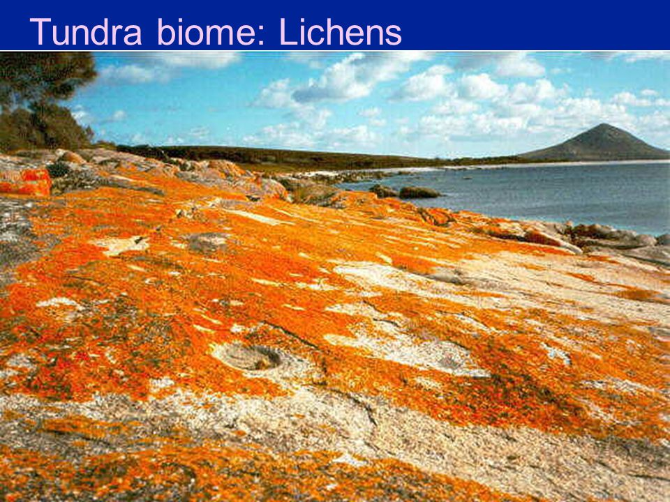 Tundra biome: Lichens