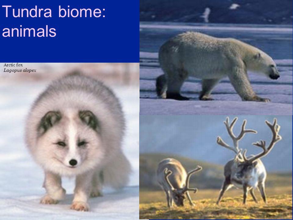 Tundra biome: animals Arctic fox Lagopus alopex Caribou / Reindeer