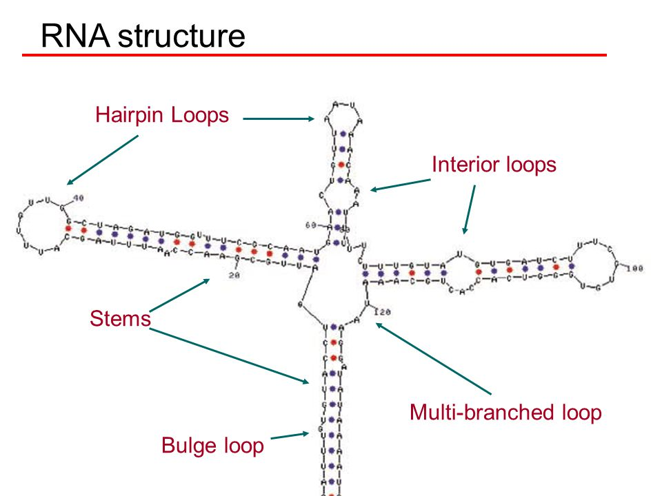 RNA structure Hairpin Loops Interior loops Stems Multi-branched loop