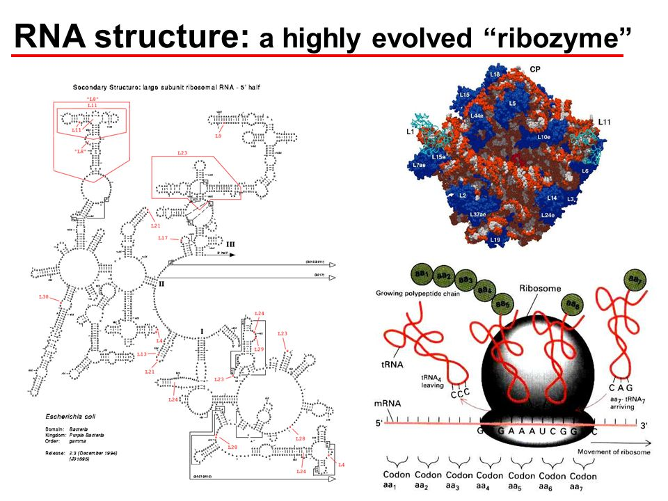 RNA structure: a highly evolved ribozyme