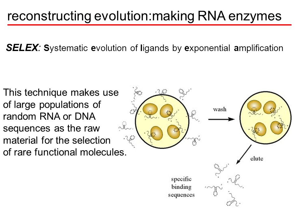reconstructing evolution:making RNA enzymes