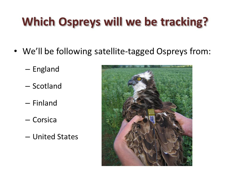 Which Ospreys will we be tracking