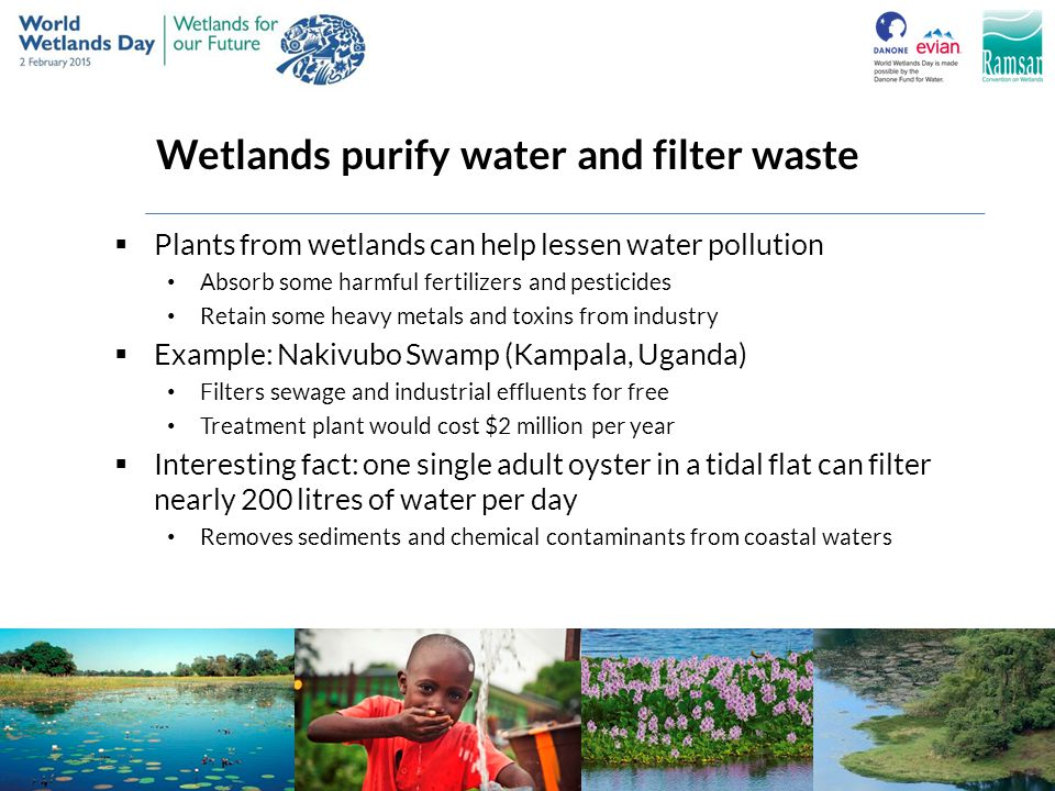 Wetlands purify water and filter waste