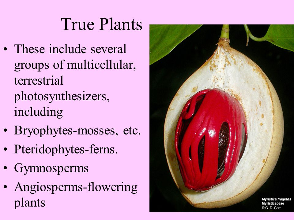 True Plants These include several groups of multicellular, terrestrial photosynthesizers, including.