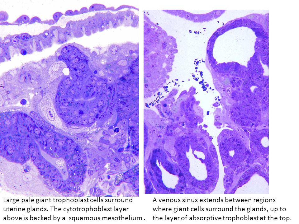 Large pale giant trophoblast cells surround uterine glands