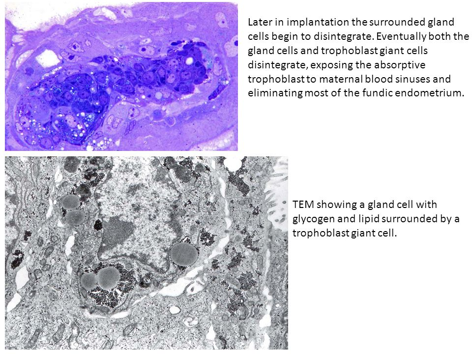 Later in implantation the surrounded gland cells begin to disintegrate