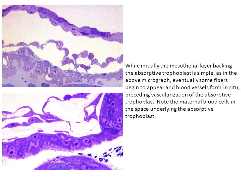 While initially the mesothelial layer backing the absorptive trophoblast is simple, as in the above micrograph, eventually some fibers begin to appear and blood vessels form in situ, preceding vascularization of the absorptive trophoblast.