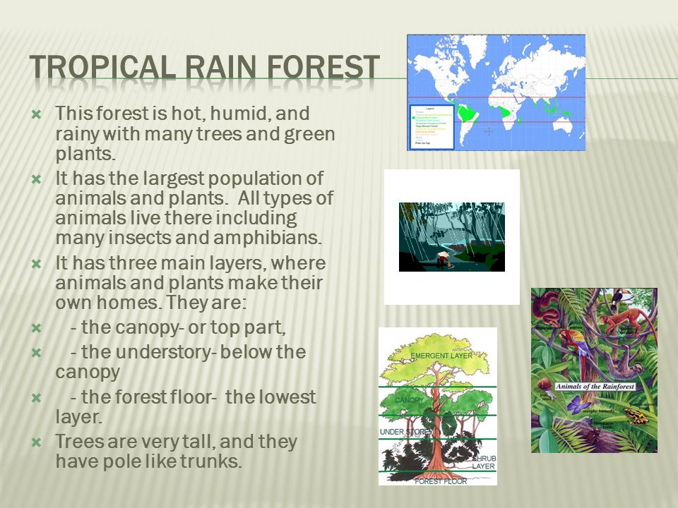 Tropical Rain Forest This forest is hot, humid, and rainy with many trees and green plants.