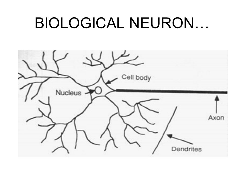 BIOLOGICAL NEURON…