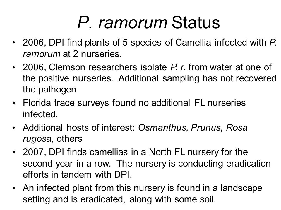 P. ramorum Status 2006, DPI find plants of 5 species of Camellia infected with P. ramorum at 2 nurseries.