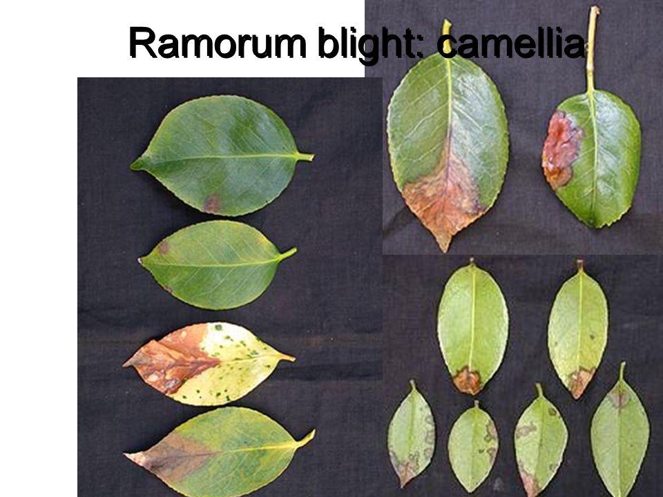 Ramorum blight: camellia
