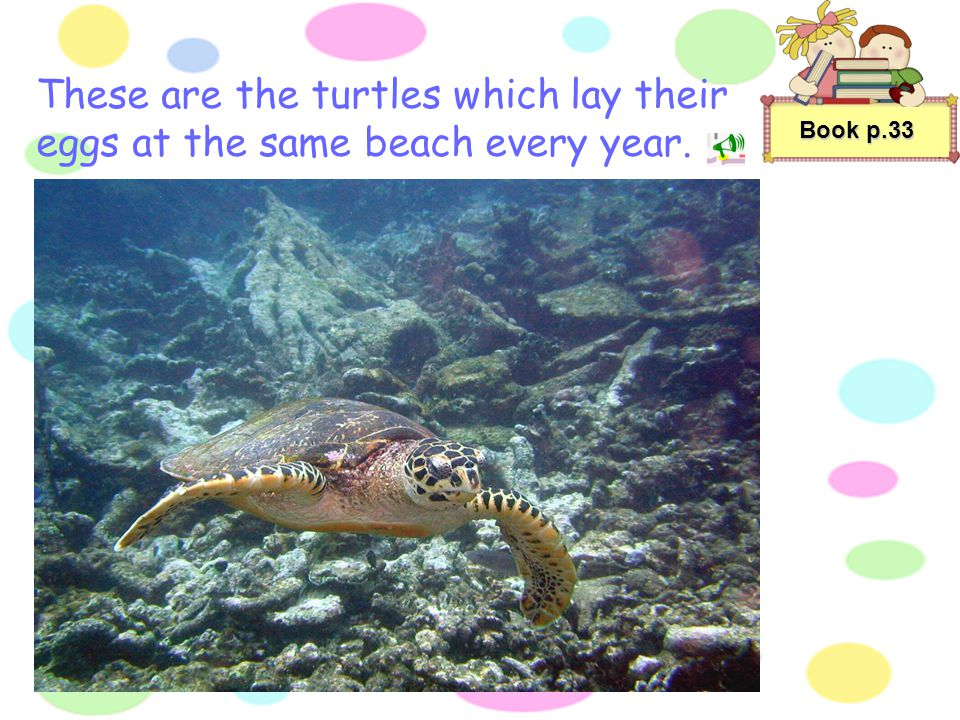 These are the turtles which lay their