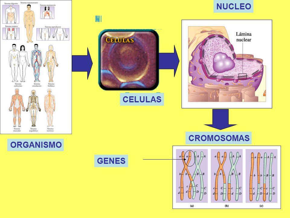 NUCLEO CELULAS CROMOSOMAS ORGANISMO GENES