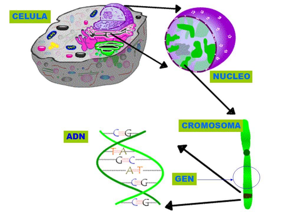 CELULA NUCLEO CROMOSOMA ADN GEN