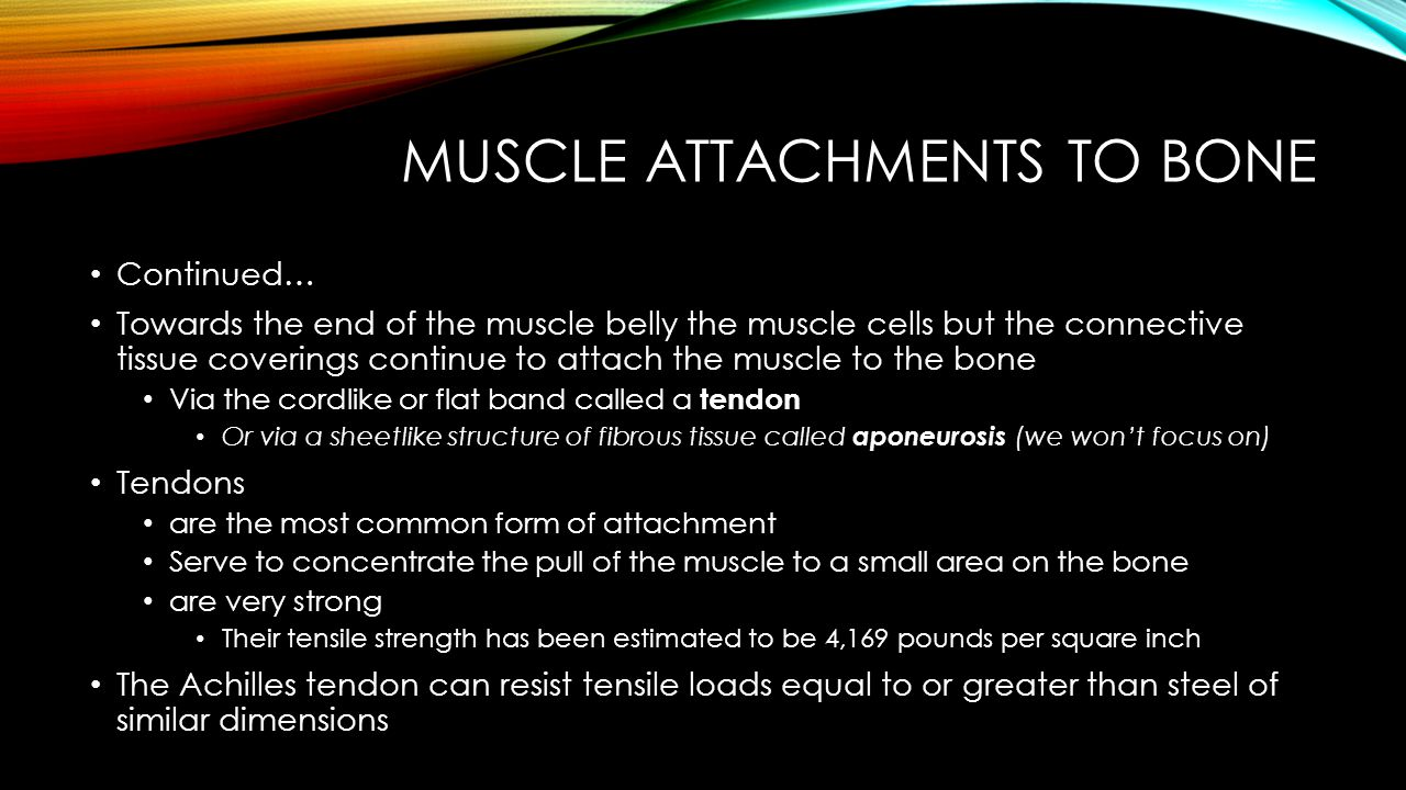 Muscle Attachments to Bone