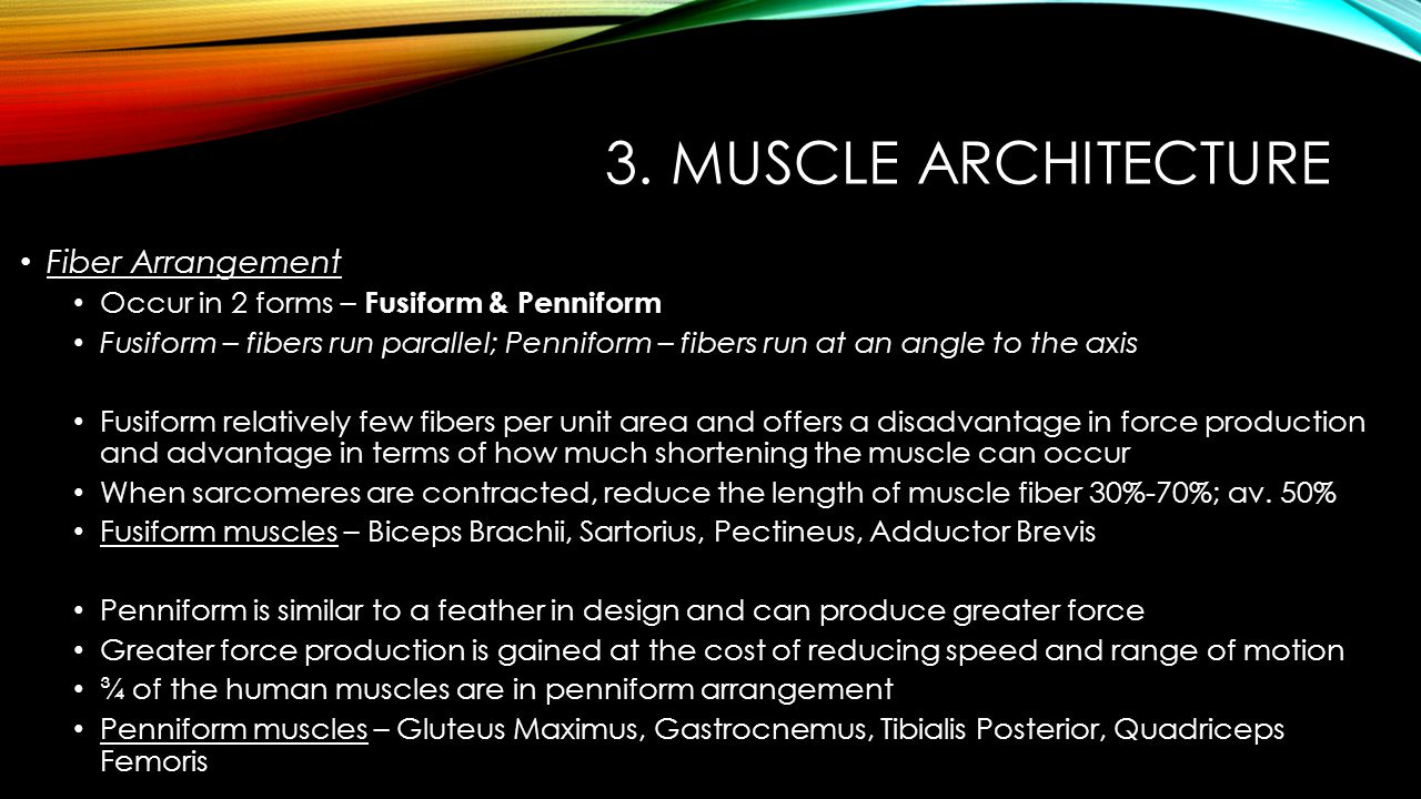 3. Muscle Architecture Fiber Arrangement