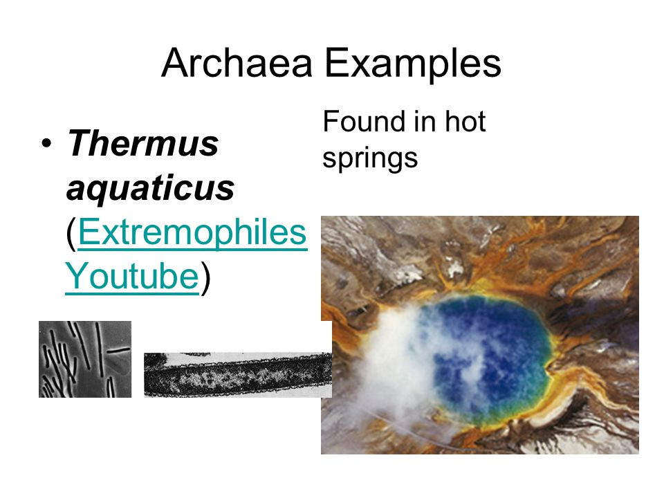 Archaea Examples Thermus aquaticus (Extremophiles Youtube)