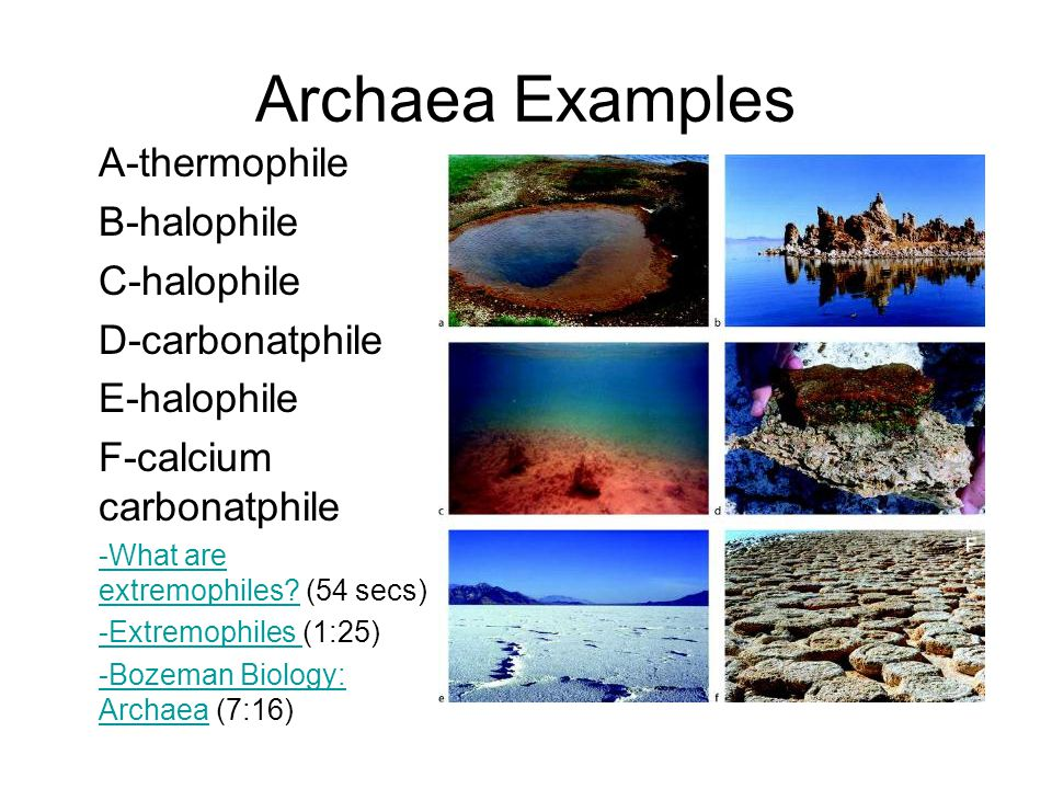 Archaea Examples A-thermophile B-halophile C-halophile D-carbonatphile