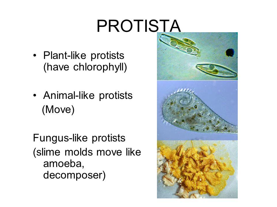 PROTISTA Plant-like protists (have chlorophyll) Animal-like protists