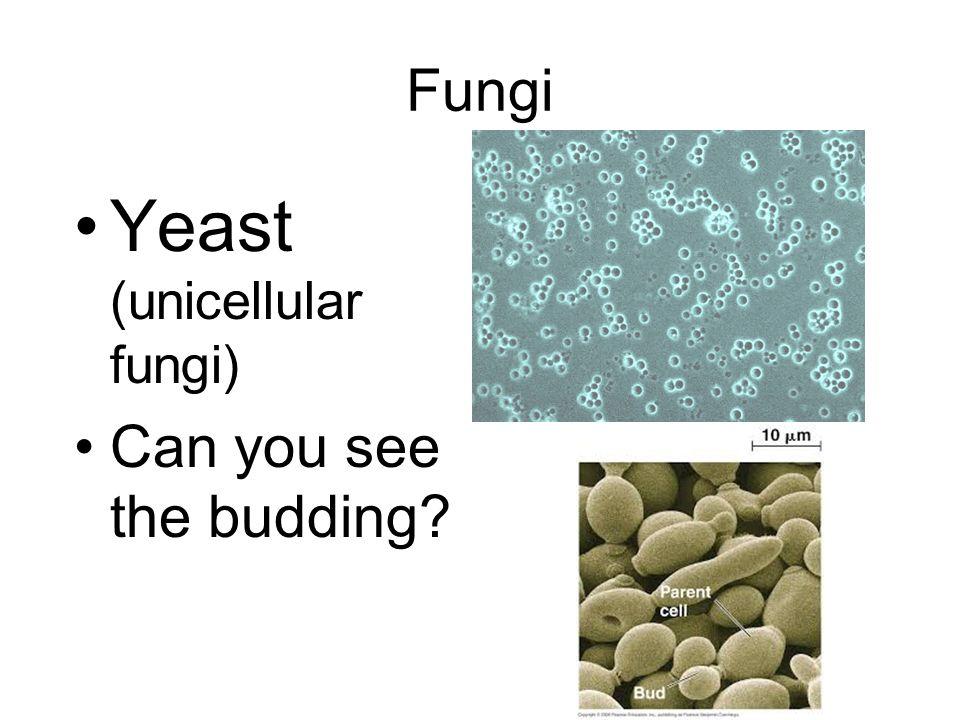 Yeast (unicellular fungi)