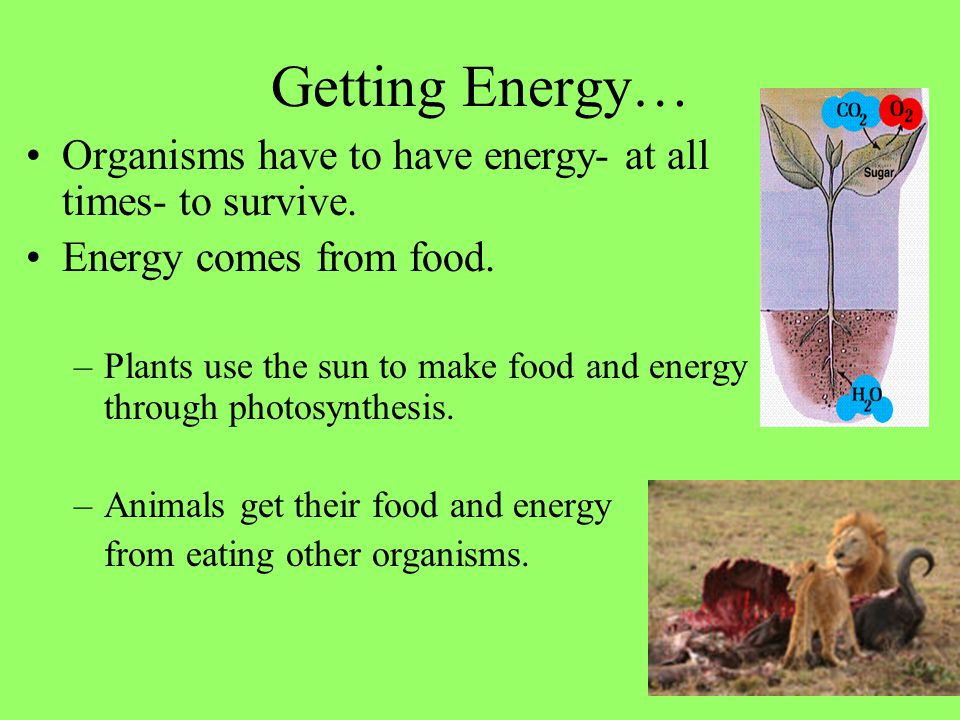Getting Energy… Organisms have to have energy- at all times- to survive. Energy comes from food.