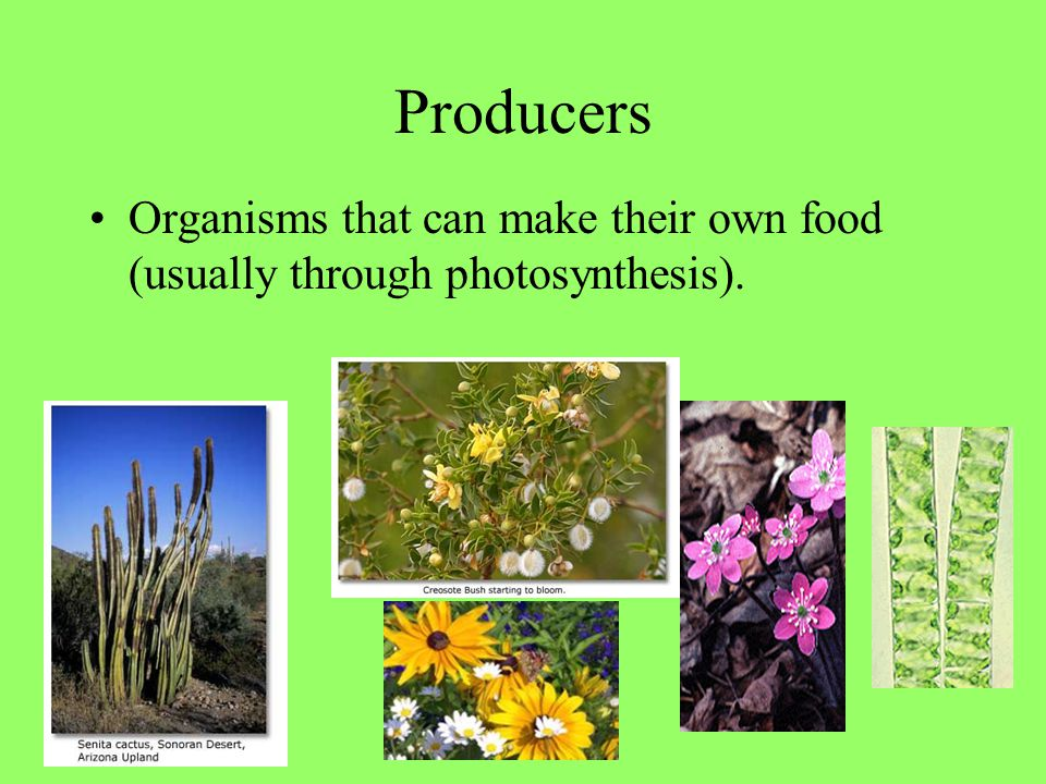 Producers Organisms that can make their own food (usually through photosynthesis).
