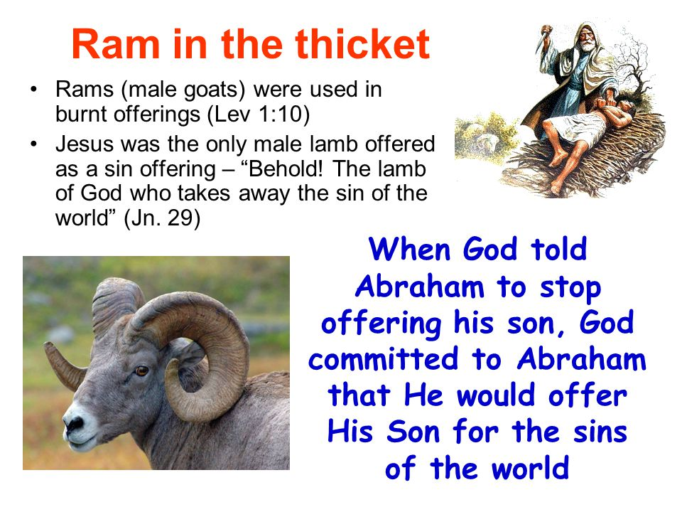 Ram in the thicket Rams (male goats) were used in burnt offerings (Lev 1:10)