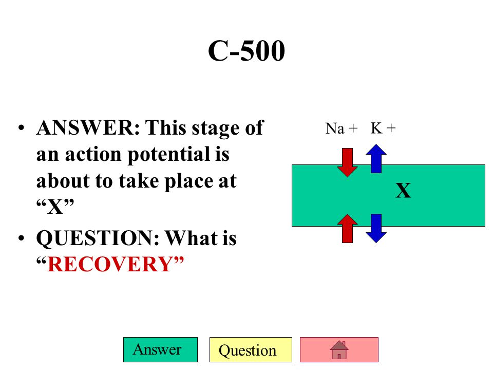 C-500 ANSWER: This stage of an action potential is about to take place at X QUESTION: What is RECOVERY