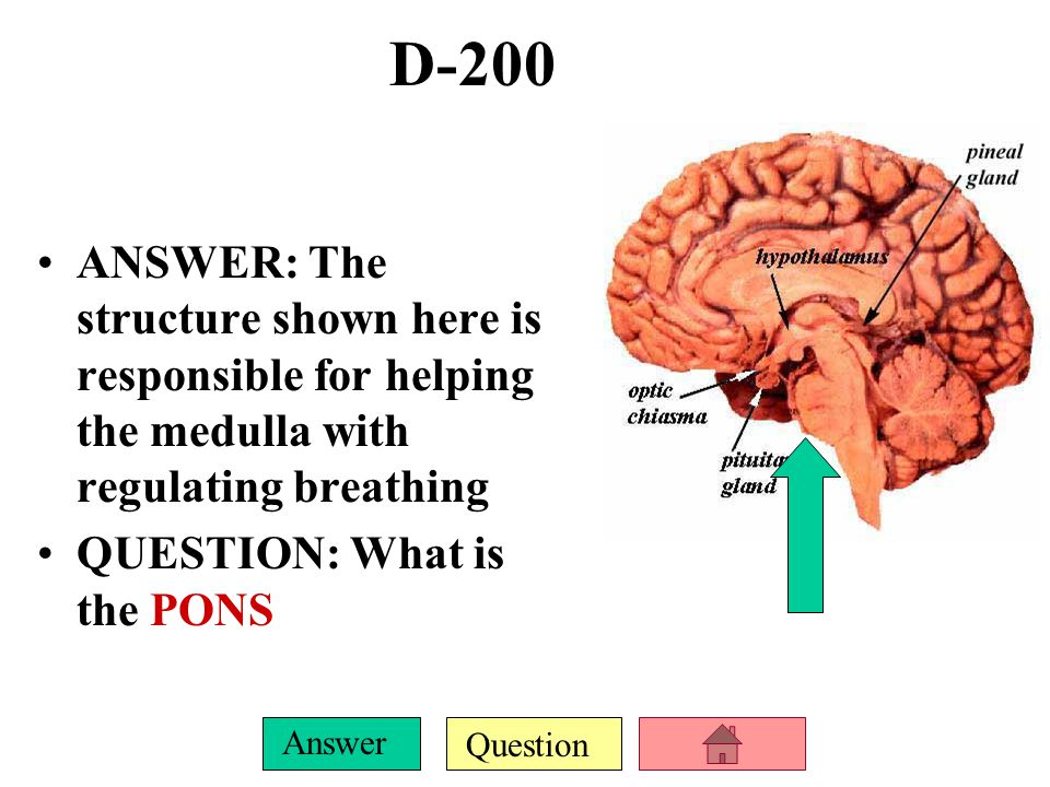 D-200 ANSWER: The structure shown here is responsible for helping the medulla with regulating breathing.