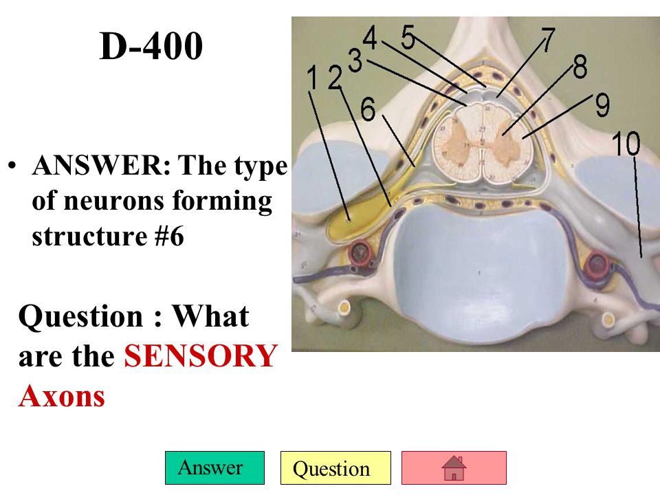 D-400 Question : What are the SENSORY Axons