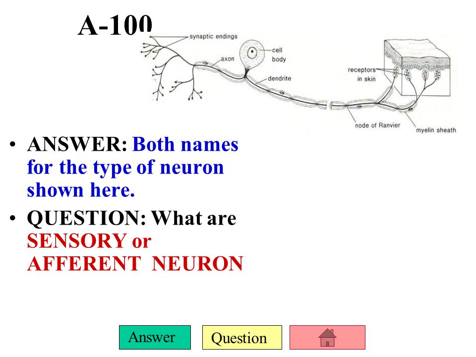 A-100 ANSWER: Both names for the type of neuron shown here.