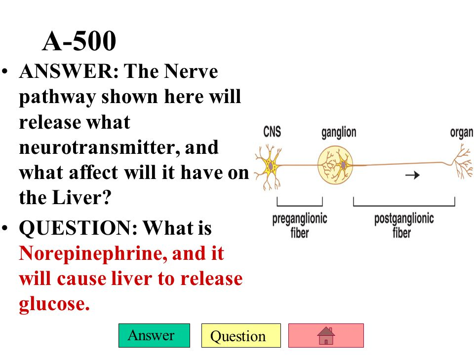 A-500 ANSWER: The Nerve pathway shown here will release what neurotransmitter, and what affect will it have on the Liver