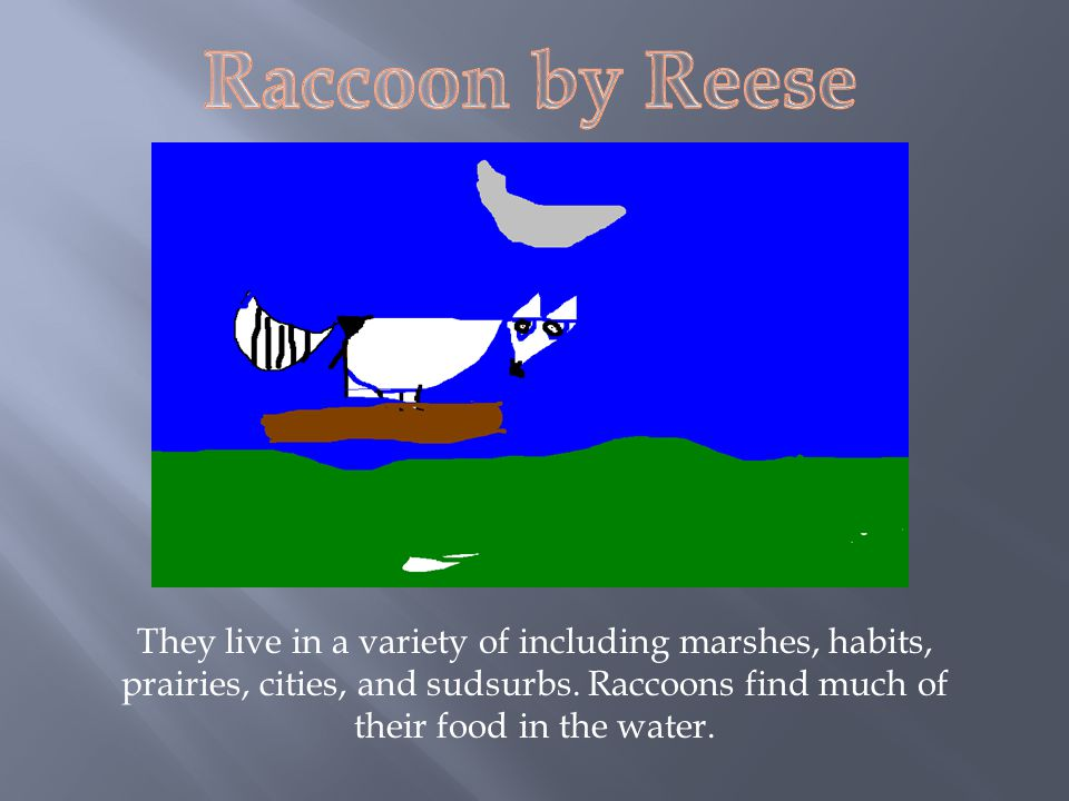 Raccoon by Reese They live in a variety of including marshes, habits, prairies, cities, and sudsurbs.