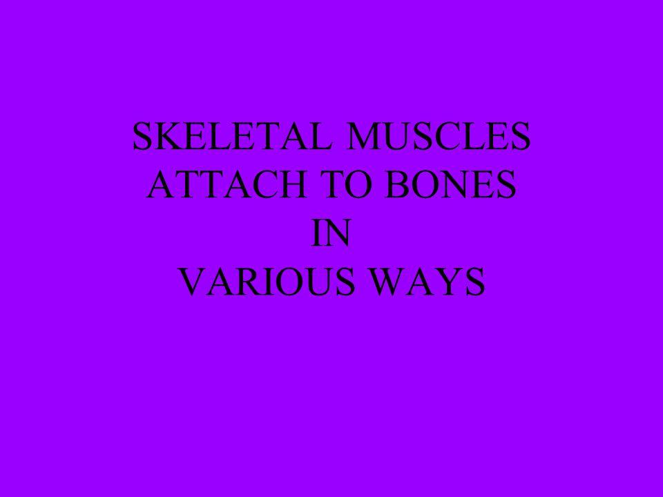 SKELETAL MUSCLES ATTACH TO BONES IN VARIOUS WAYS