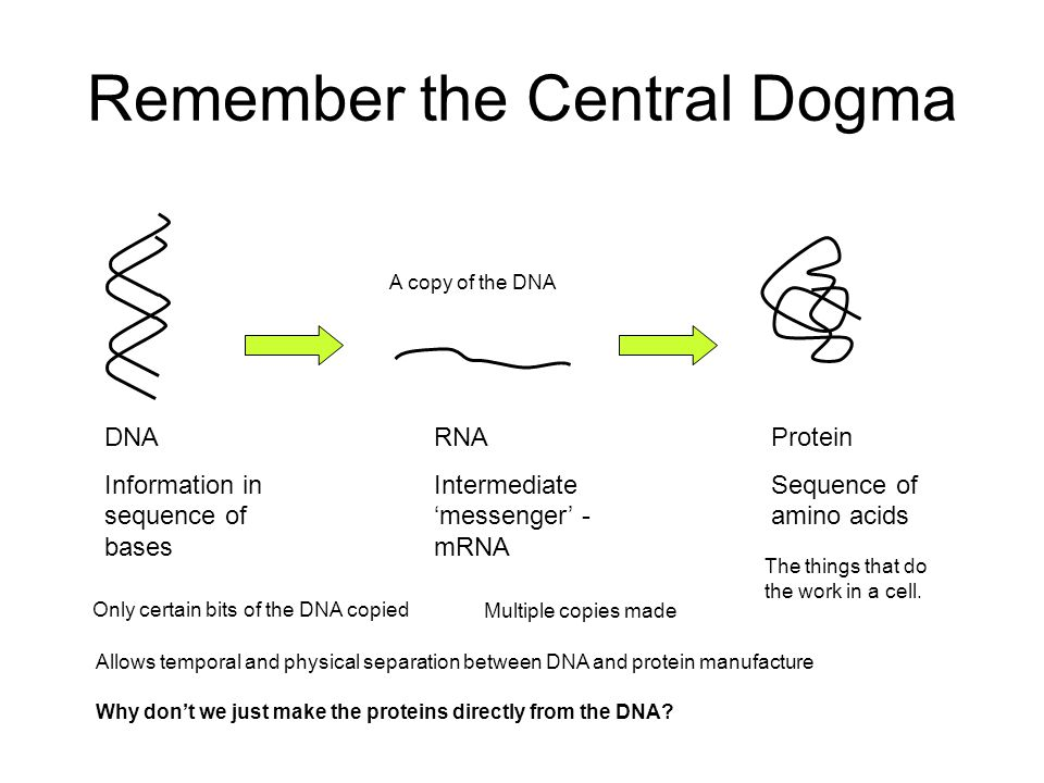 Remember the Central Dogma