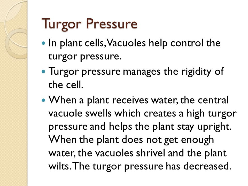 Turgor Pressure In plant cells, Vacuoles help control the turgor pressure. Turgor pressure manages the rigidity of the cell.