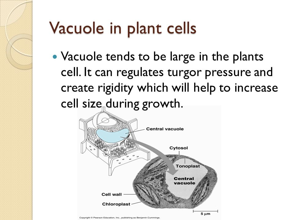 Vacuole in plant cells